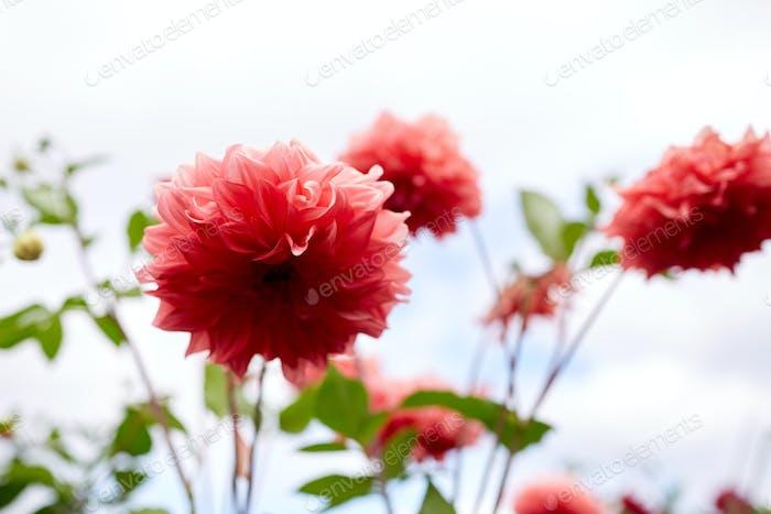beautiful dahlia flowers at summer garden