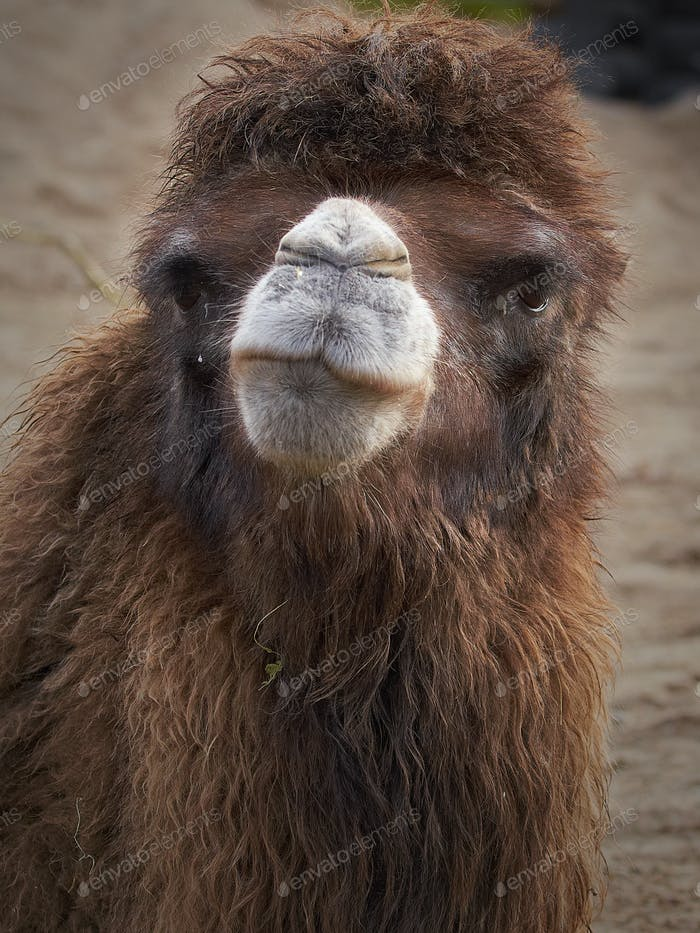 Baktrisches Kamel (Camelus bactrianus)