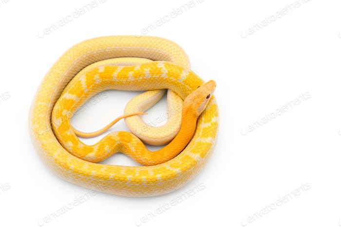 Beauty rat Snake albino isolated on white background