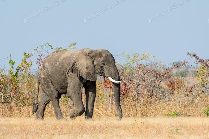 African Elephant, Wildlife scene in nature habitat