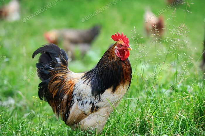 Rooster in farm