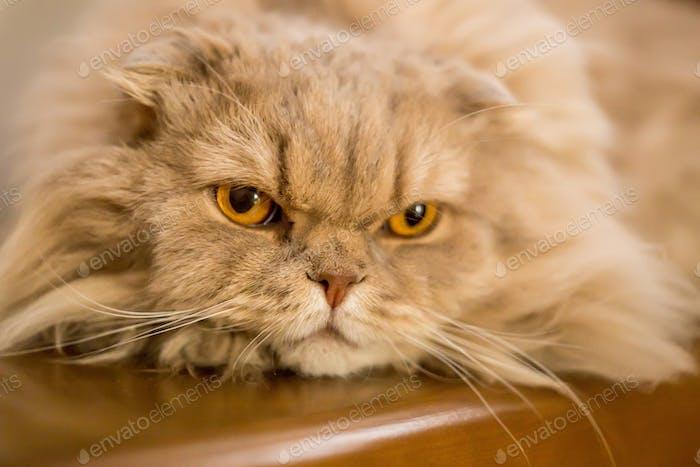 Close-up of domestic cat