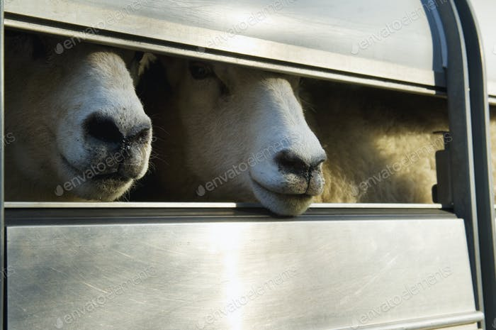 Sheep loaded into a trailer.