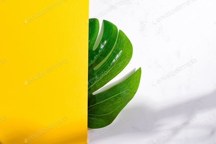 Natural backdrop from green tropical Monstera leaf on a duotone yellow white background with soft