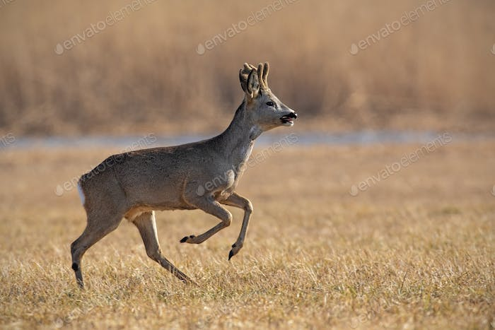 Running roe deer, capreolus capreolus in winter