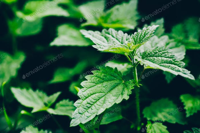 Stinging nettle leaves as background. Green texture of nettle.