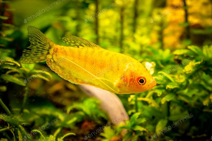 Gold Gourami Trichogaster trichopterus . Fish tank concept