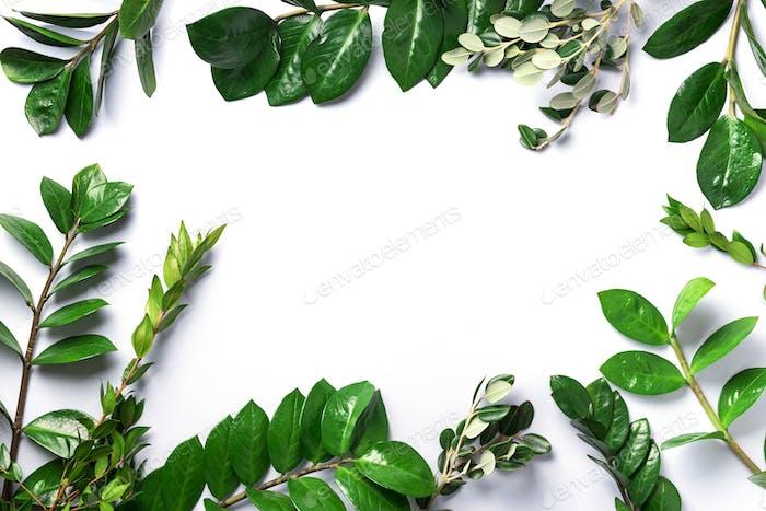 Grüne Blätter von Zamioculcas zamiifolia auf weißem Hintergrund. Draufsicht. Kopierraum. Textur von Grün