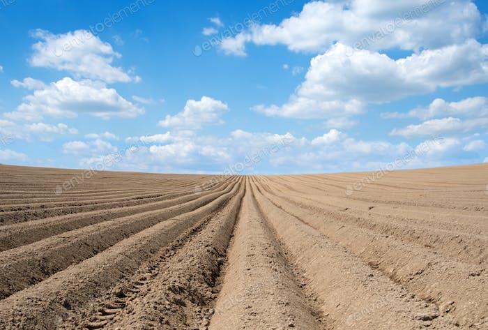 rows of potato field
