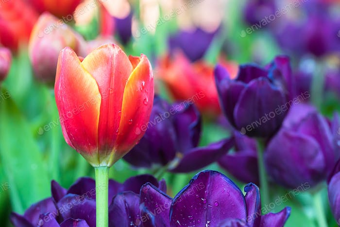 Red and purple tulips in the garden