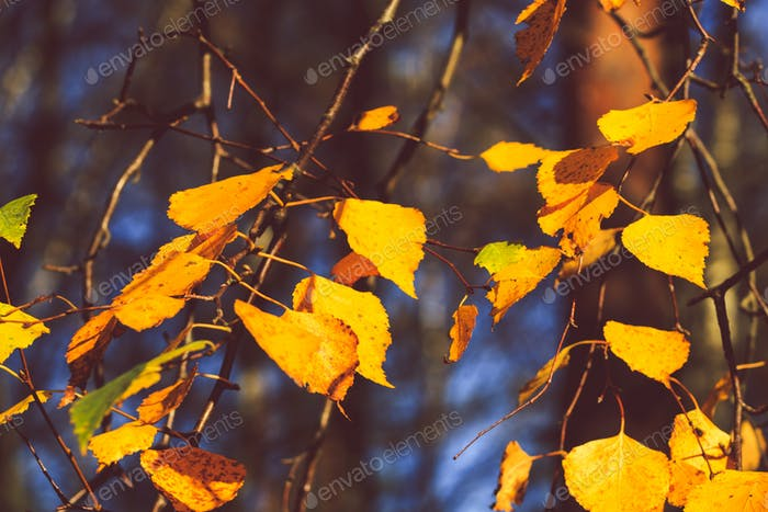 The pattern of yellow foliage on a birch. Autumn nature background.