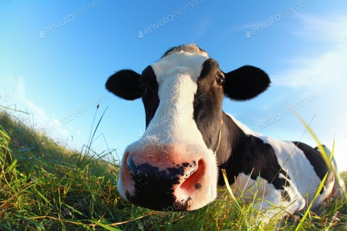 cow muzzle close up outdoors