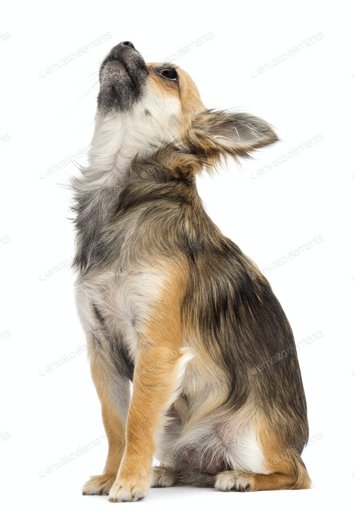 Chihuahua sitting and looking up against white background
