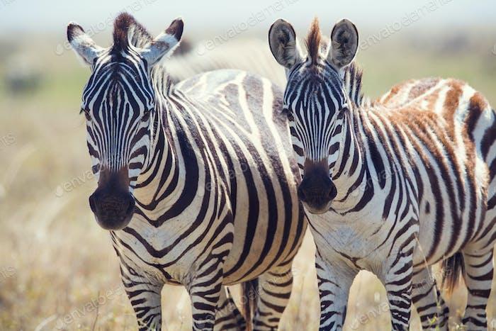 Dos cebras en Serengeti Tanzania