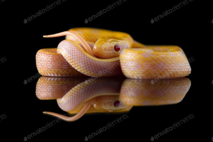 Beauty rat Snake albino isolated on black background