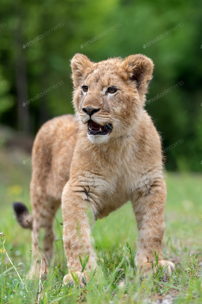 Lion cub in spring time