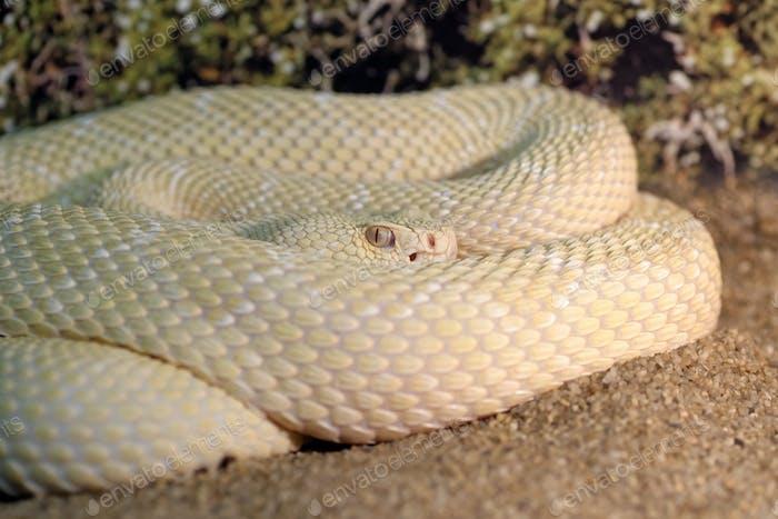 White western diamondback rattlesnake