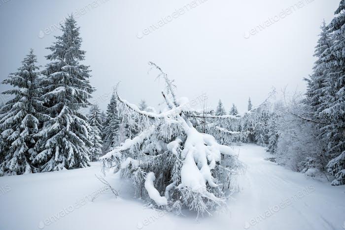 Bottom view beautiful slender snowy fir trees