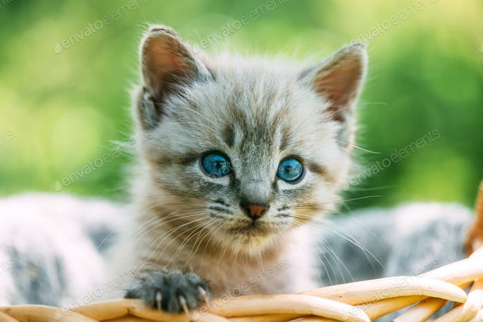 Small kitten with blue ayes in basket