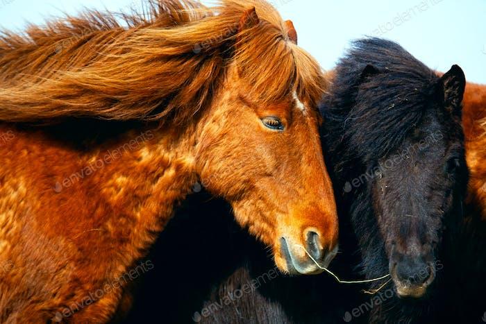 Portrait of Icelandic horses in Iceland