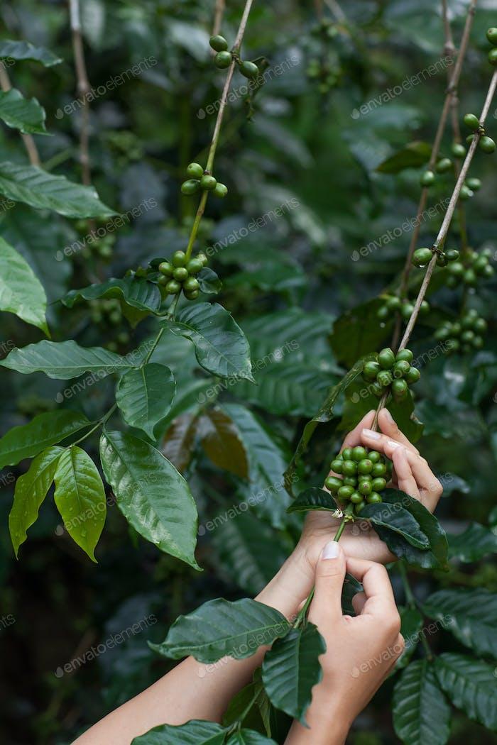 Green arabica coffee fruits in tender woman hands