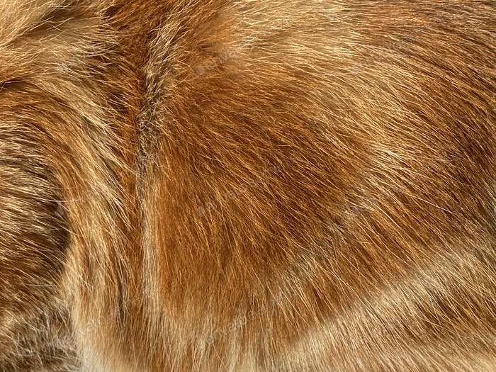 Close-up on a the hairy ginger cat, red fur, beautiful natural t