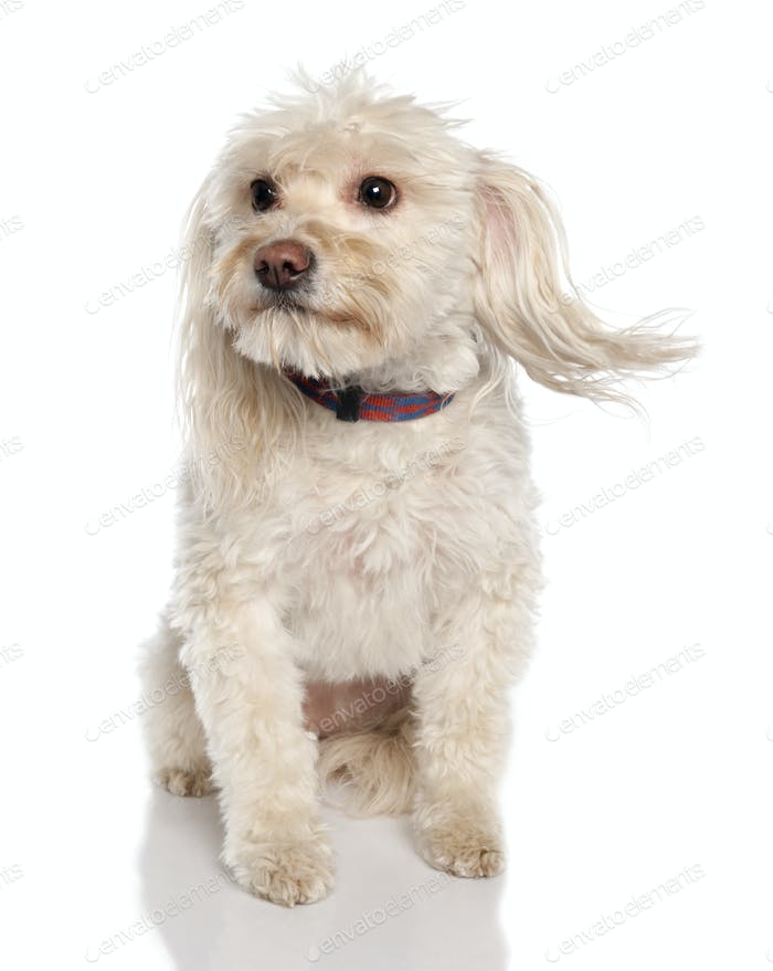 Mixed-Breed Dog between a maltese and a Coton de Tulear (5 years old)