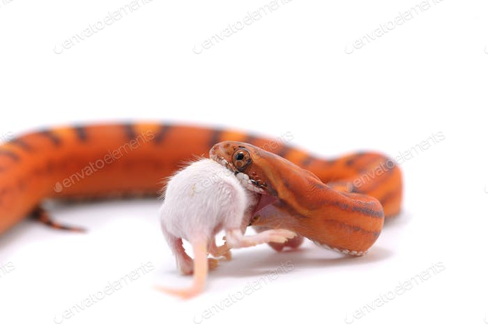 scaleless snake eat mouse isolated on white background