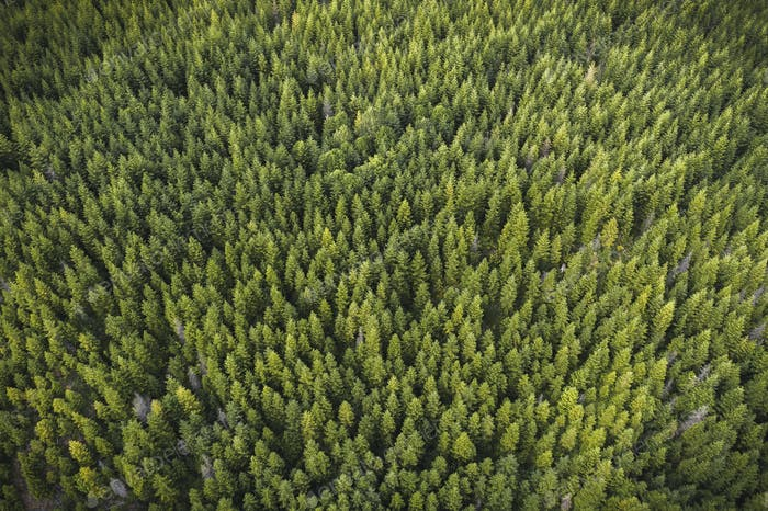 Drone view of a coniferous forest
