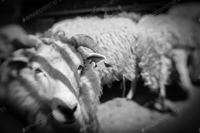 Sheeps standing inside barn on a farm