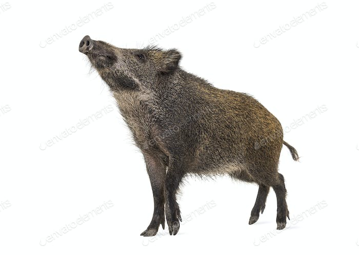 Wild boar standing in front, isolated on white