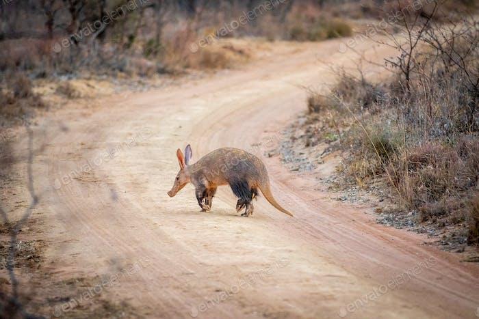 Aardvark crossing a bush road.