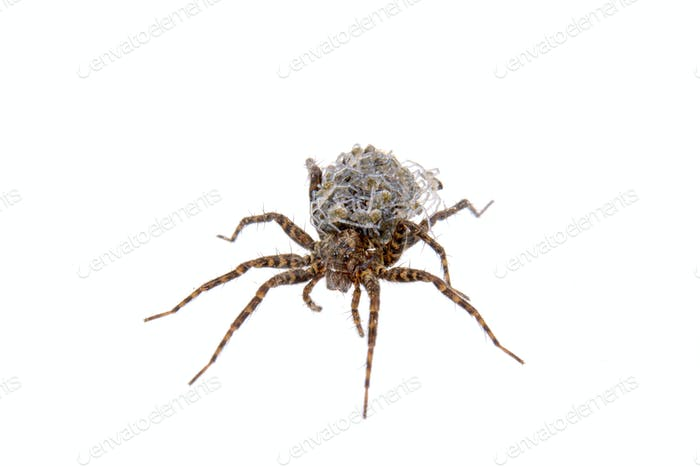 Spider with young on a white background