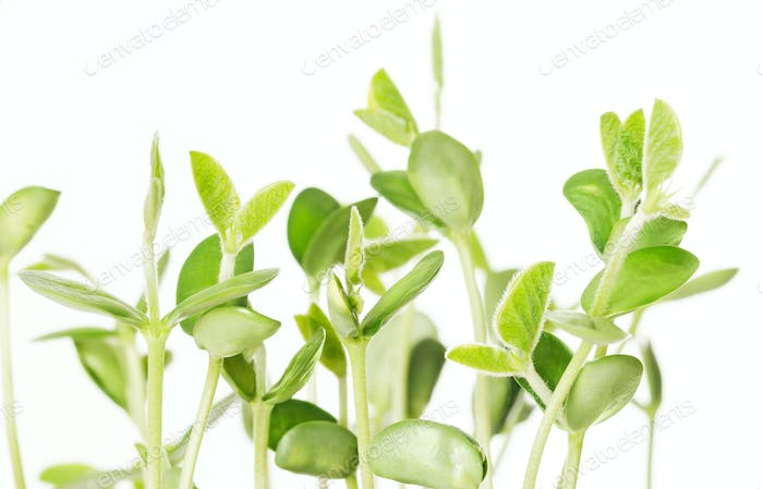 Soybean seedlings on white background