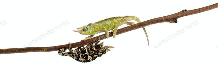 Two Mt. Meru Jackson's Chameleons