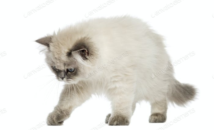 British Longhair kitten alert, looking down, 5 months old, isolated on white