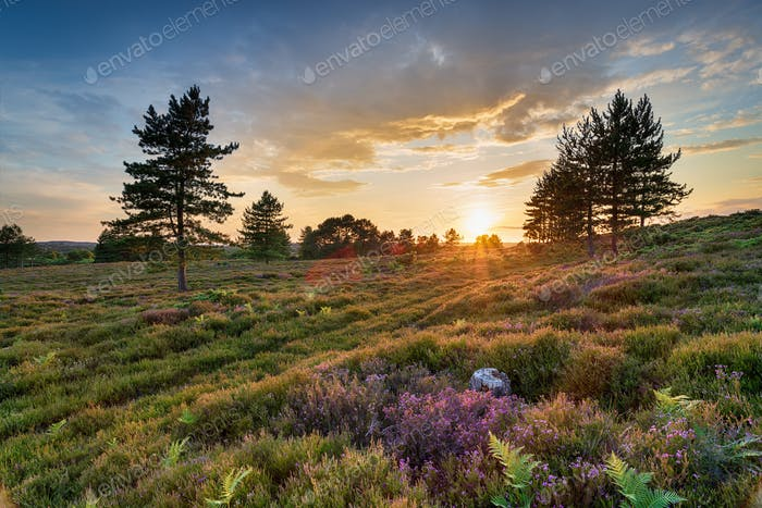 Stunning sunset over heather and Scots Pine trees on Slepe Heath