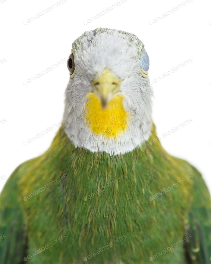 Black-naped Fruit Dove, Ptilinopus melanospilus, 3.5 months old against white background