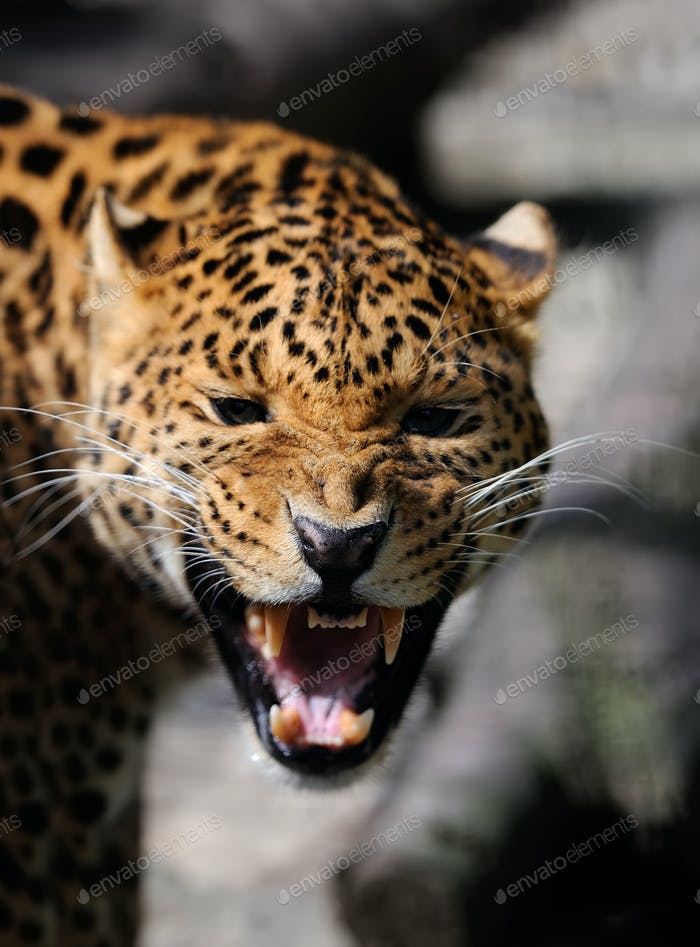 Leopard on dark background