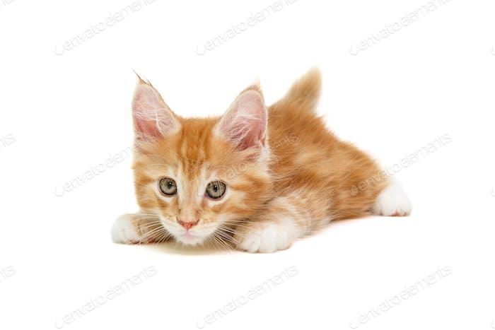 kleine weiße britische Kätzchen liegt