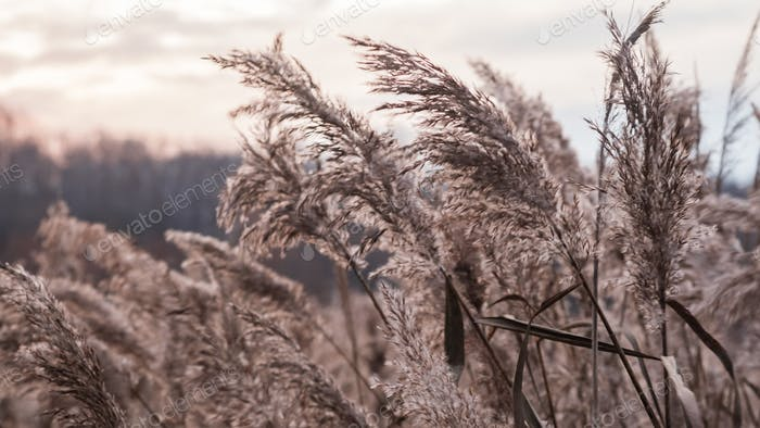 Golden reed grass in the fall in the sun. Abstract natural background.