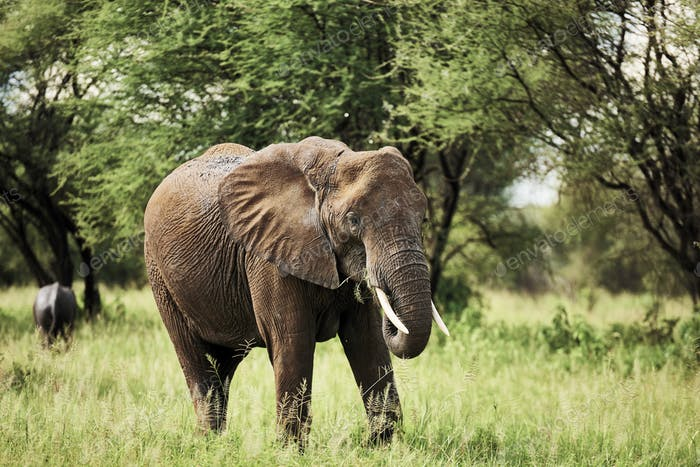 African elephant in National Park of Tanzania