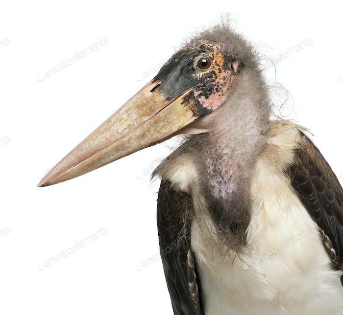 Marabou Stork, Leptoptilos crumeniferus, 1 year old, in front of white background