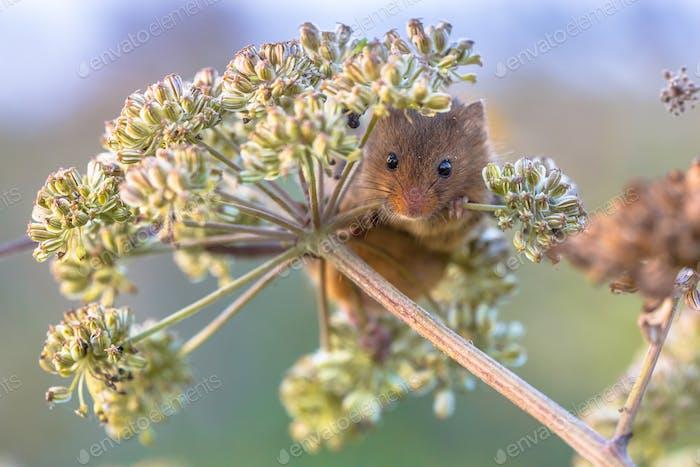 Harvest mouse feeding on seeds