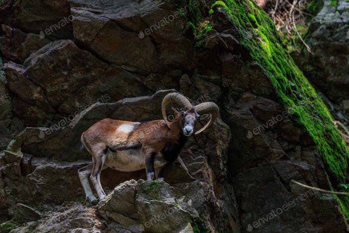 the mouflon (Ovis musimon). Parc de Merlet, France