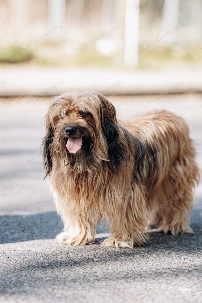 Tibetischer Terrier-Hund läuft auf dem Asphalt im Park