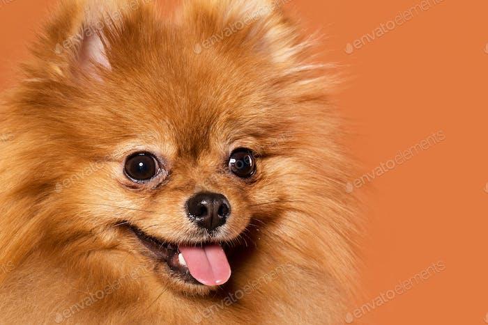 Animal. Cute spitz