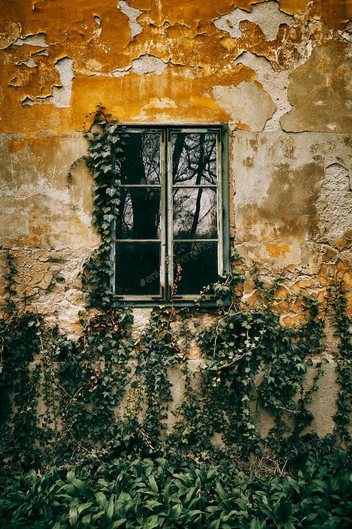 Fondo de hiedra de ventana vieja