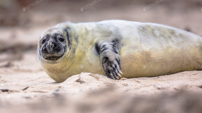 portrait of baby Common seal on beach