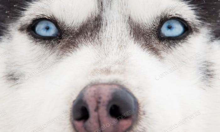 Siberian husky portrait. Close-up